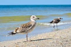 Stora Black Sea seagulls i den naturliga livsmiljön Fotografering för Bildbyråer