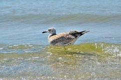 Stora Black Sea seagulls i den naturliga livsmiljön Royaltyfri Foto