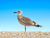 Stora Black Sea seagulls i den naturliga livsmiljön Arkivbilder
