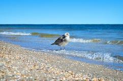 Stora Black Sea seagulls i den naturliga livsmiljön Arkivbild