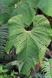 Stora blad i Ecuador Royaltyfri Foto