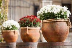 Stora blomkrukor med vit och burgundy krysantemum Sale av blommor royaltyfria foton