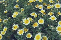 Stora blommor av lösa tusenskönor bland grön lövverk N?rbild tonic royaltyfria bilder