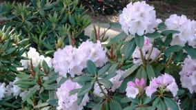 Stora blommor av rhododendron stock video