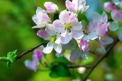Stora blommor för Apple blomningrosa färger Royaltyfri Foto
