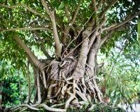 stora bonsai Royaltyfri Fotografi