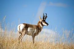 Stora Buck Antelope arkivfoto