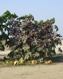 Stora buskar av ricinusen En växt från som svängbart hjul - olja göras Royaltyfri Fotografi
