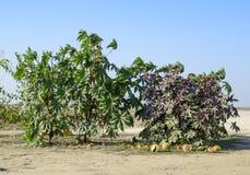 Stora buskar av ricinusen En växt från som svängbart hjul - olja göras Fotografering för Bildbyråer