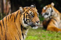 Stora Cat Bengal Tiger Royaltyfri Bild