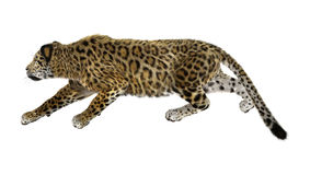 Stora Cat Jaguar på vit Royaltyfria Bilder