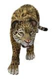 Stora Cat Jaguar på vit Arkivfoto