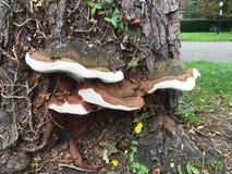 Stora champinjoner på trädskället Royaltyfri Foto