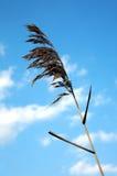 stora cordgrass Royaltyfria Bilder