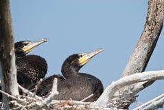 Stora Cormorantfågelungar Royaltyfri Bild