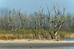 Stora Cormorants för koloni i tree Royaltyfri Foto