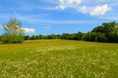 Stora Daisy Field Arkivfoto