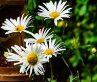 Stora daisys i blom på våren royaltyfri bild