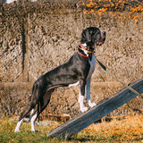 Stora Dane Big Dog Deutsche Dogge, tysk mastiff Royaltyfria Bilder