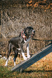 Stora Dane Big Dog Deutsche Dogge, tysk mastiff Royaltyfri Foto