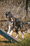 Stora Dane Big Dog Deutsche Dogge, tysk mastiff Arkivbilder