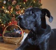 Stora Dane Christmas Royaltyfri Foto