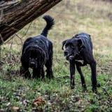 Stora Dane Dog och Newfoundland Arkivfoton