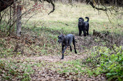Stora Dane Dog och Newfoundland Royaltyfri Foto