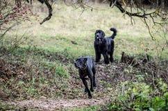 Stora Dane Dog och Newfoundland Arkivbild
