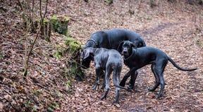Stora Dane Dogs Arkivbild