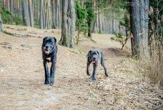 Stora Dane Dogs Royaltyfri Bild
