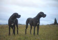 Stora Dane Dogs Arkivbilder