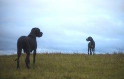 Stora Dane Dogs Royaltyfri Foto