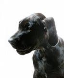 Stora Dane Profile Arkivfoton