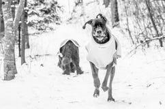 Stora Dane Running Fotografering för Bildbyråer