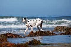 Stora Dane Walking på stranden Royaltyfri Fotografi