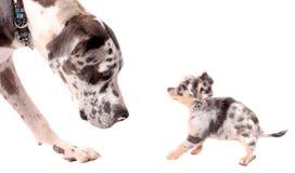 Stora dansk- och chihuahuahundar Fotografering för Bildbyråer