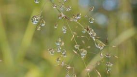 Stora droppar av dagg på ett gräs Stora vattendroppar på ett gräs Arkivbild