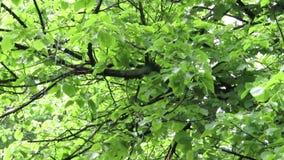Stora droppar av regn på bakgrunden av gröna sidor av trädet arkivfilmer
