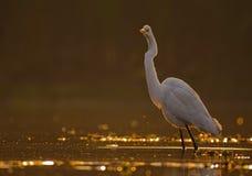 stora egrets Royaltyfria Foton