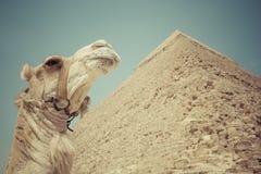 Stora egyptiska pyramider i Giza, Kairo Arkivbilder