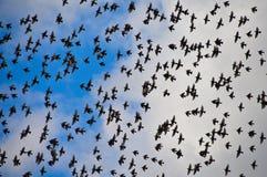 Stora fågelflockstare och blå himmel Arkivfoto