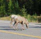 stora får för crossinghornväg Royaltyfri Bild