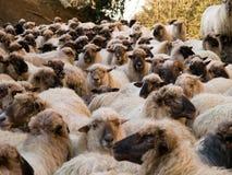 stora får för flock arkivfoto