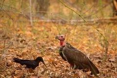 Stora fakturerade galande-, Corvusmacrorhynchos och röd hövdad gam, Sarcogyps calvus Fotografering för Bildbyråer