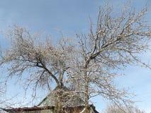 Stora filialer av äppleträd som täckas med is och snö Fotografering för Bildbyråer