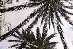 Stora filialer av palmträden mot himlen Ett stort vitt hus Palmträd på bakgrunden av det vita huset Arkivfoto