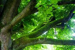 Stora filialer av trädet Arkivbilder