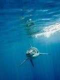 Stora fings för vit haj fyra i det blåa havet royaltyfri fotografi