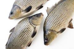 stora fiskar Royaltyfria Foton